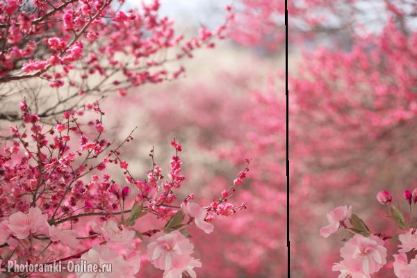 Цветущая сакура, вставить фото онлайн  Цветущая Сакура Png